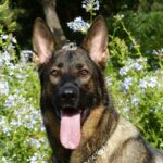 german-shepherd-232393_1280